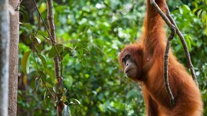 Los primates amenazados corren un alto riesgo de contraer la COVID-19