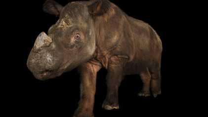 Capturan al primer rinoceronte de Sumatra salvaje para salvar a su especie