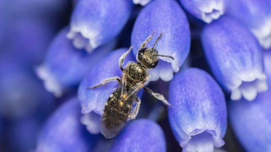 No hemos observado a un cuarto de las especies de abejas desde la década de 1990