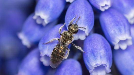 Fotografía de una abeja Lasioglossum smeathmanellum