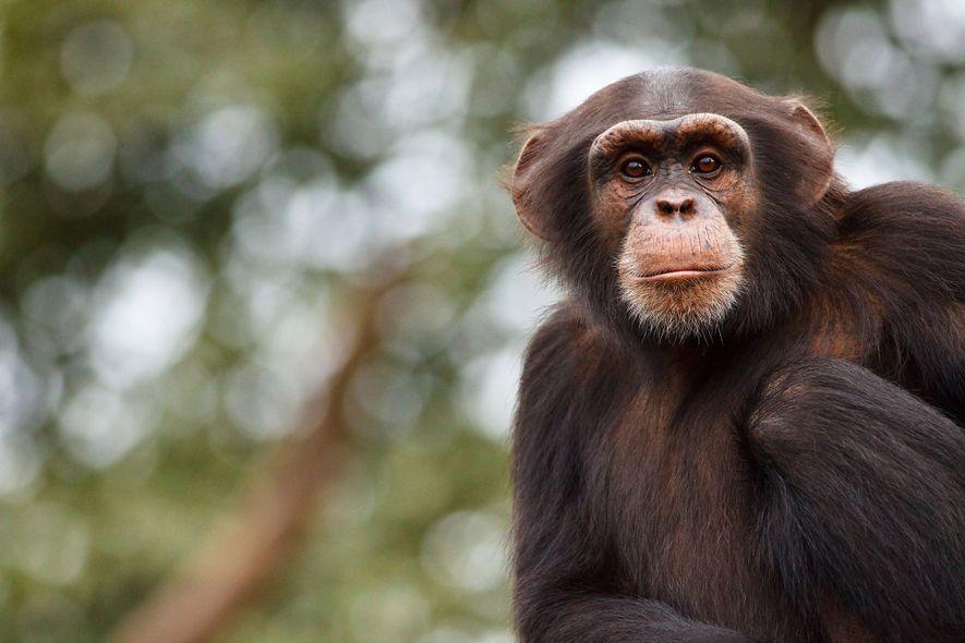 El refugio para chimpancés de Tacugama, en Sierra Leona, alberga cientos de chimpancés occidentales en peligro ...
