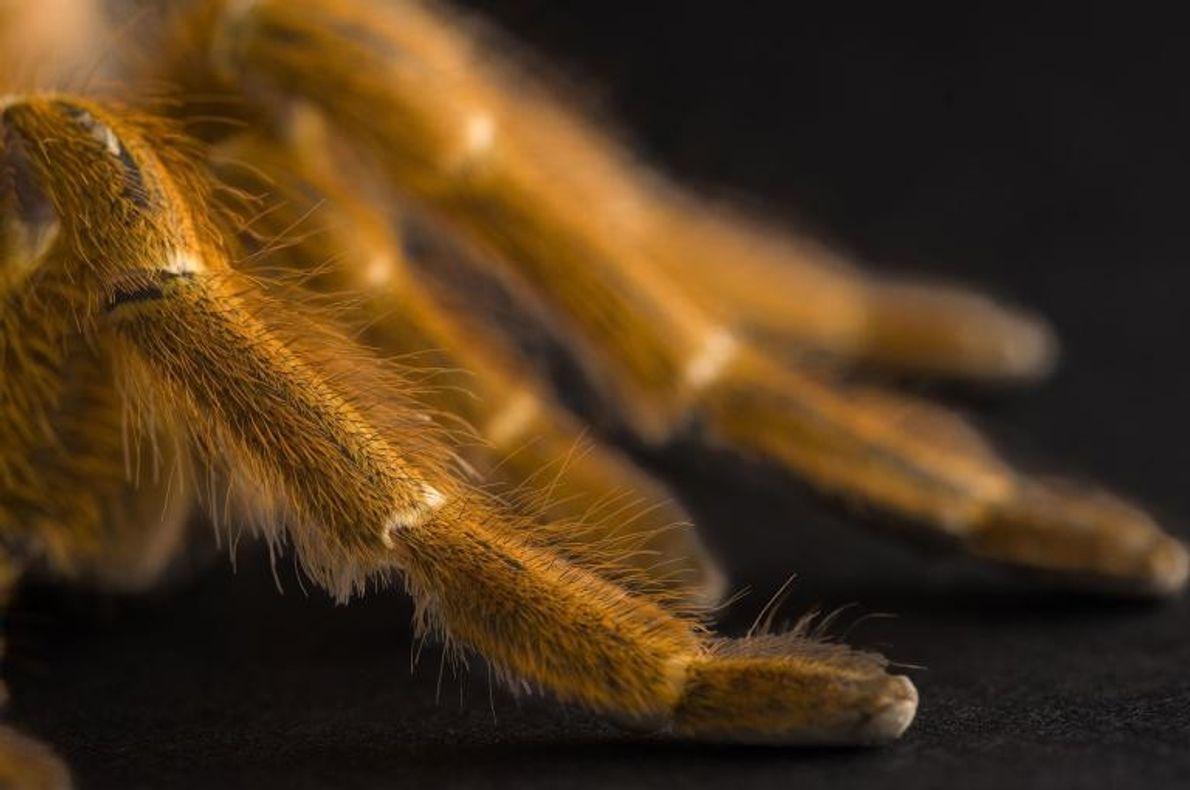 Tarántula babuina naranja