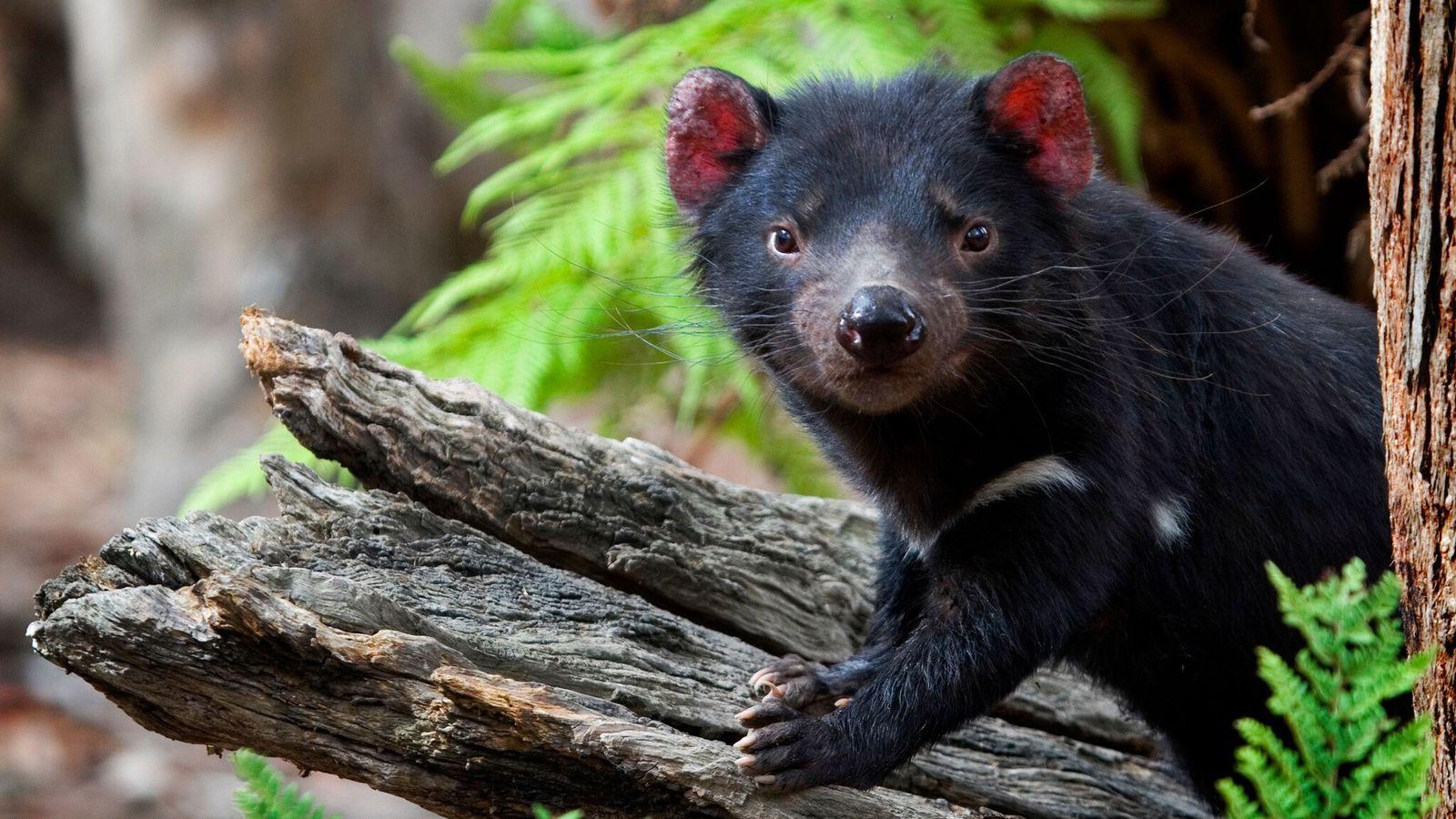 Un demonio de Tasmania cautivo