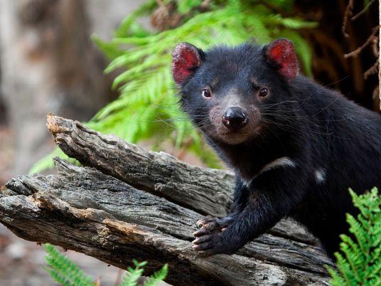 Disminuye la transmisión del cáncer facial que aflige a los demonios de Tasmania