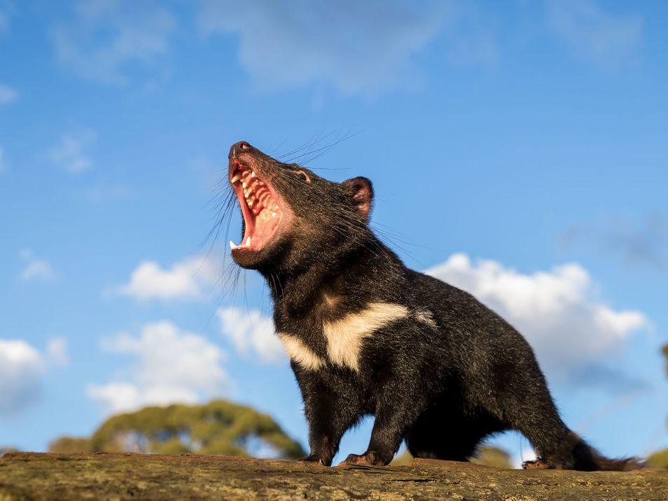Los demonios de Tasmania regresan a Australia continental por primera vez en 3000 años