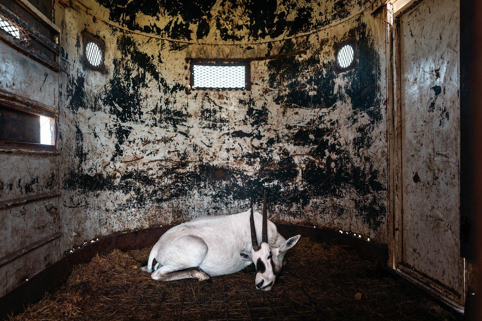 Fotografía de un órix de Arabia sedado
