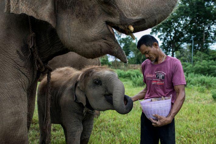 El mahout Winchai Permsap alimenta a una cría de elefante