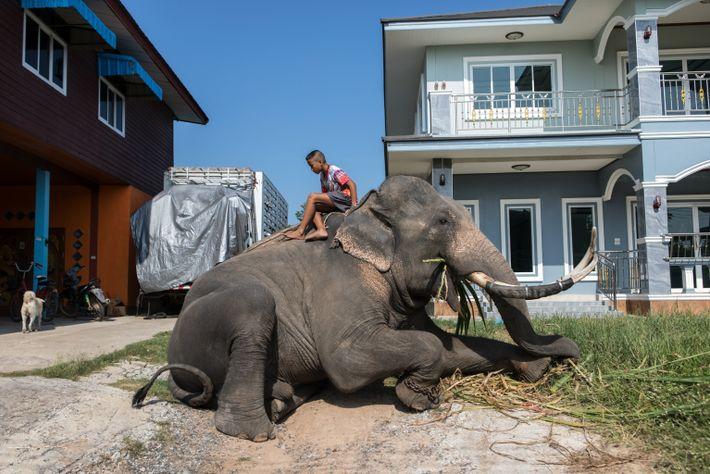 La familia del mahout Visanchon Yongram tiene cuatro elefantes