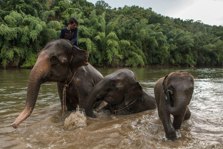 Los mahouts sacan a los elefantes a bañarse en el río Kwai