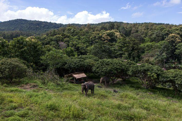 Los elefantes se relajan en «The Chang», parte del Maesa Elephant Camp