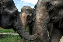 Tres elefantes en Chiang Mai, Tailandia
