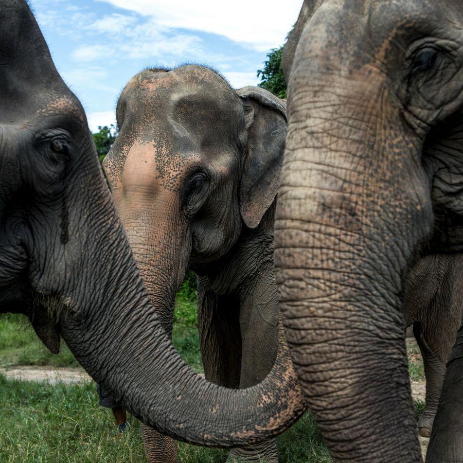 Un año sin turismo: la crisis de los elefantes cautivos de Tailandia
