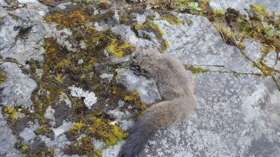 La ardilla voladora lanuda de Yunnan