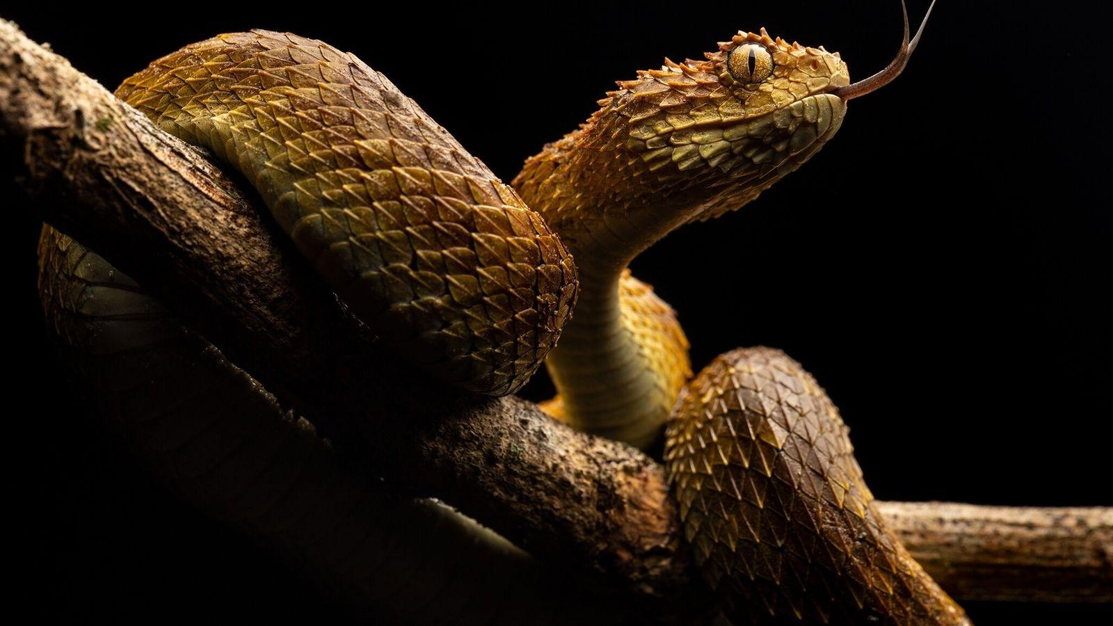 Una serpiente Atheris de la República Democrática del Congo