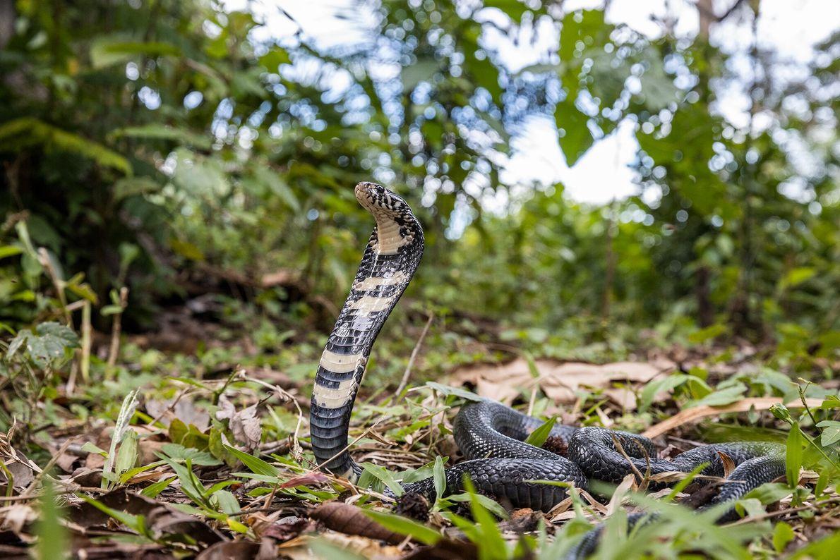 Una cobra de bosque