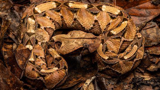 Serpientes venenosas de África