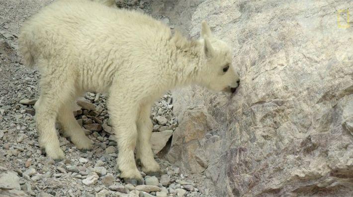 Planeta Hostil - las cabras montesas