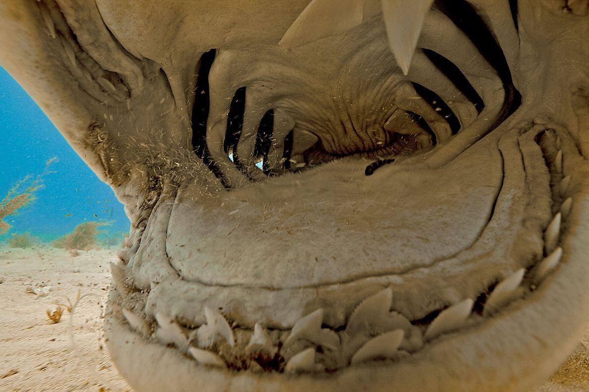 Tiburón tigre. Las Bahamas