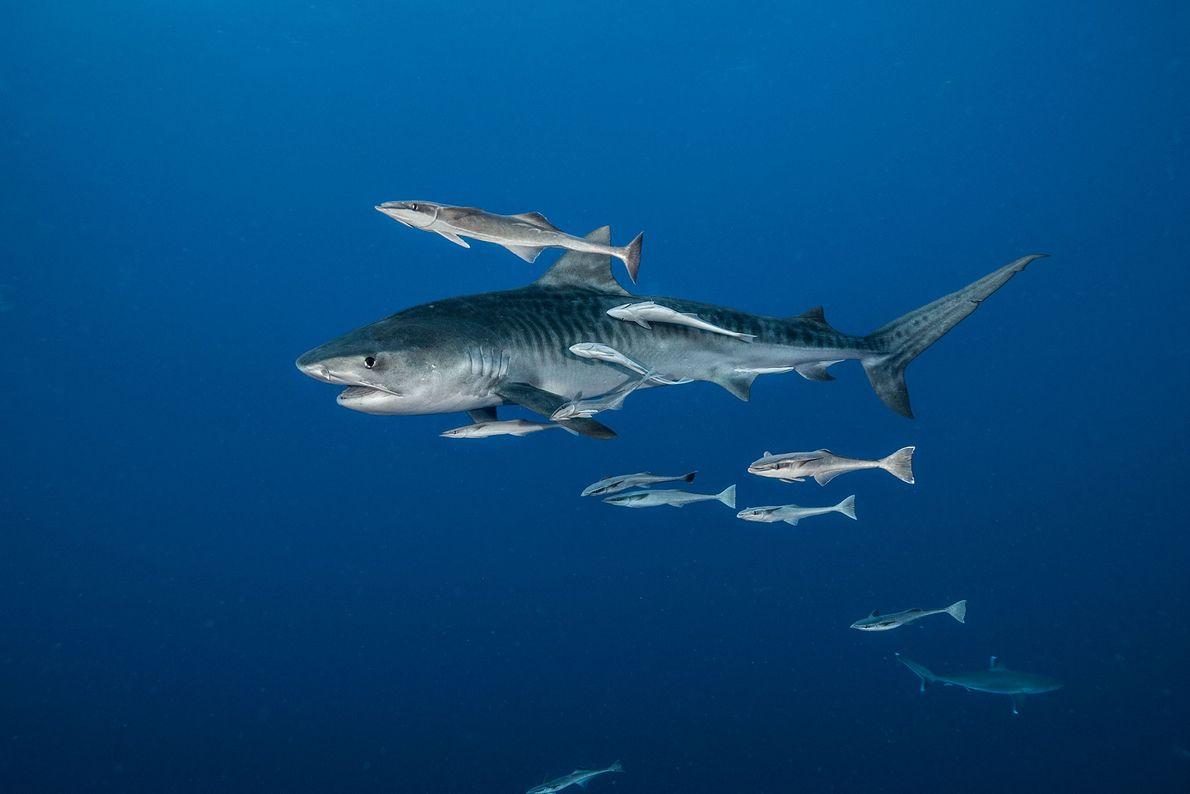 Tiburón tigre. Sudáfrica