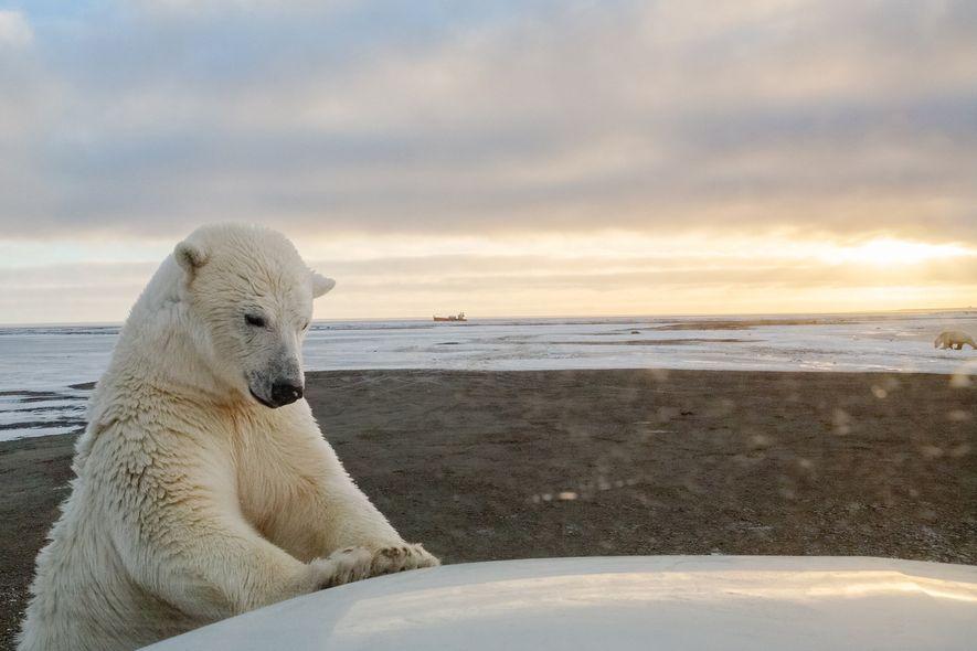 Oso polar, Kaktovik, Alaska
