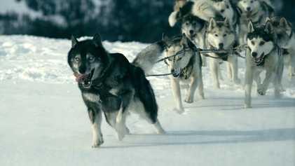 La historia de Togo, el perro que salvó a un pueblo de Alaska de una epidemia ...
