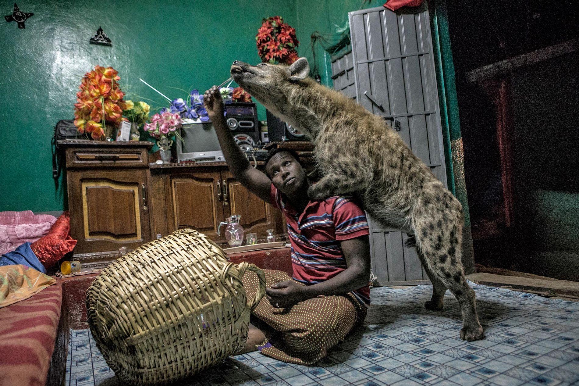La hiena es uno de los animales más temidos del mundo, pero en esta pequeña aldea etíope, Abbas, conocido como «el Hombre Hiena», las ha adiestrado para poder alimentarlas en el interior de su casa.