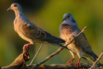 Tórtola común especies en peligro UE Natura 2000