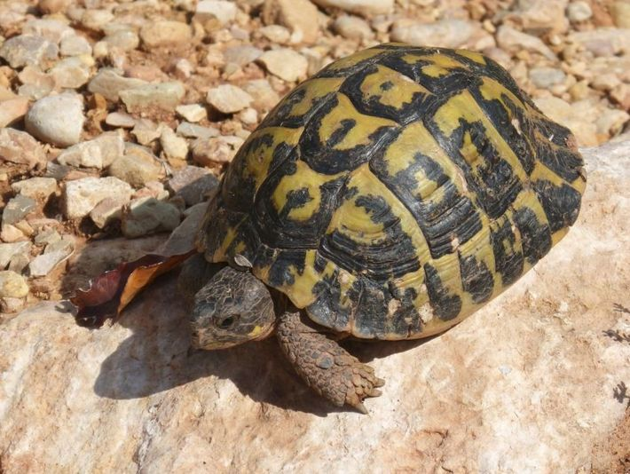 Tortuga mediterránea