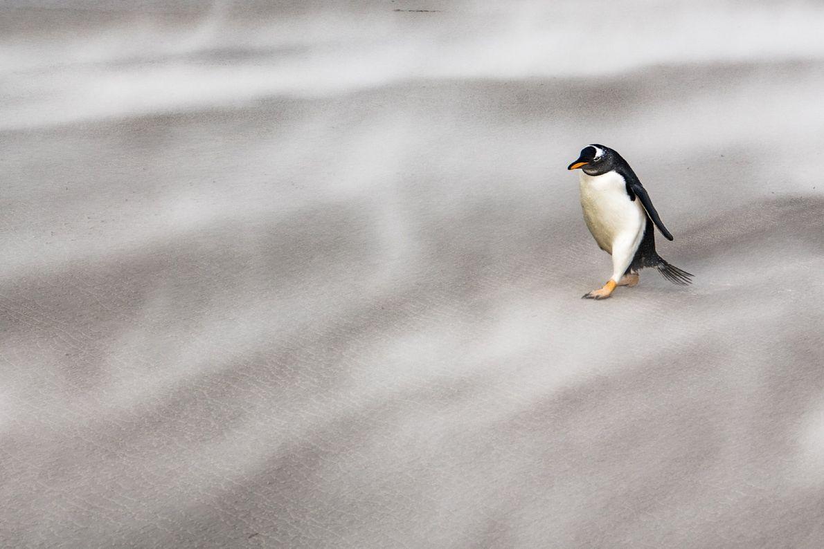 Un pingüino juanito