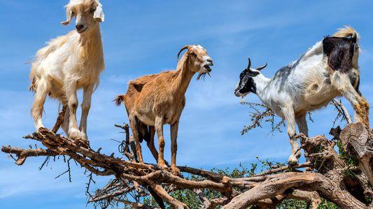 No te pierdas a estas extrañas cabras trepadoras de árboles en acción