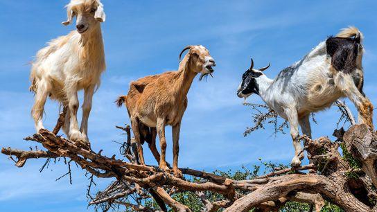 Cabras trepadoras de árboles