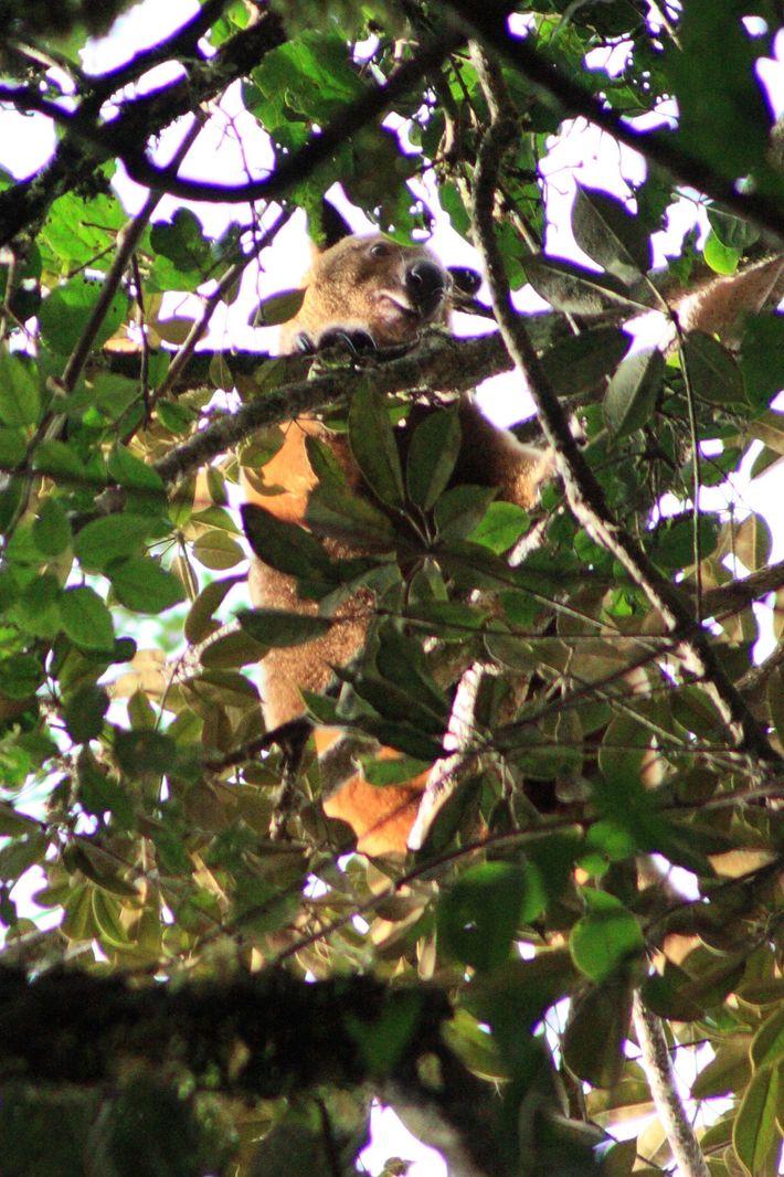 Canguro arborícola de Wondiwoi