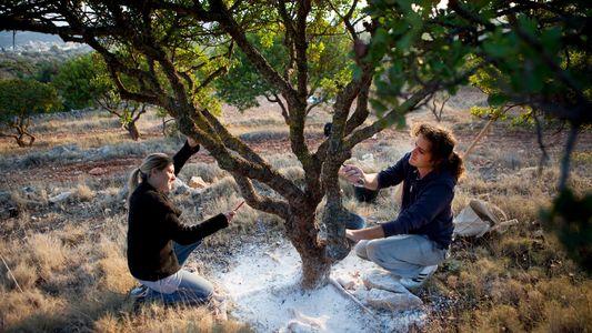Visita Quíos, la isla griega célebre por esta planta medicinal