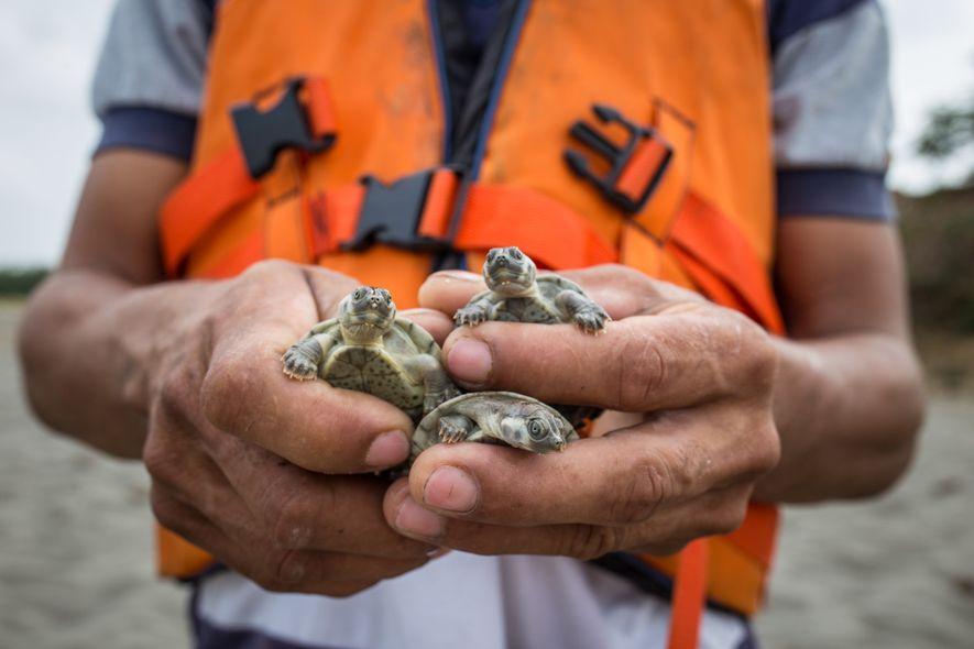 Carlos Olivo ha cazado tortugas toda su vida. Ahora forma parte de Econbiba, un proyecto de ...