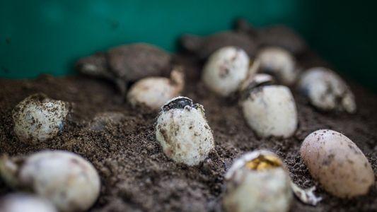 El consumo de carne de tortuga en Cuaresma afecta a especies en peligro de extinción