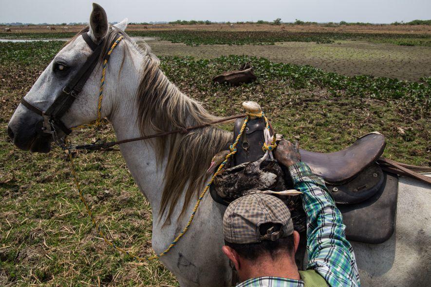 Durante las sequías anuales en zonas rurales, los caladeros se agotan. Tanto tortugas como aves migratorias, ...