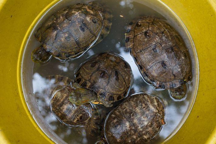 Tortugas hicoteas