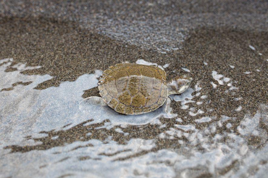 La tortuga de río, que solo habita las partes bajas de los ríos Sinú y Magdalena ...