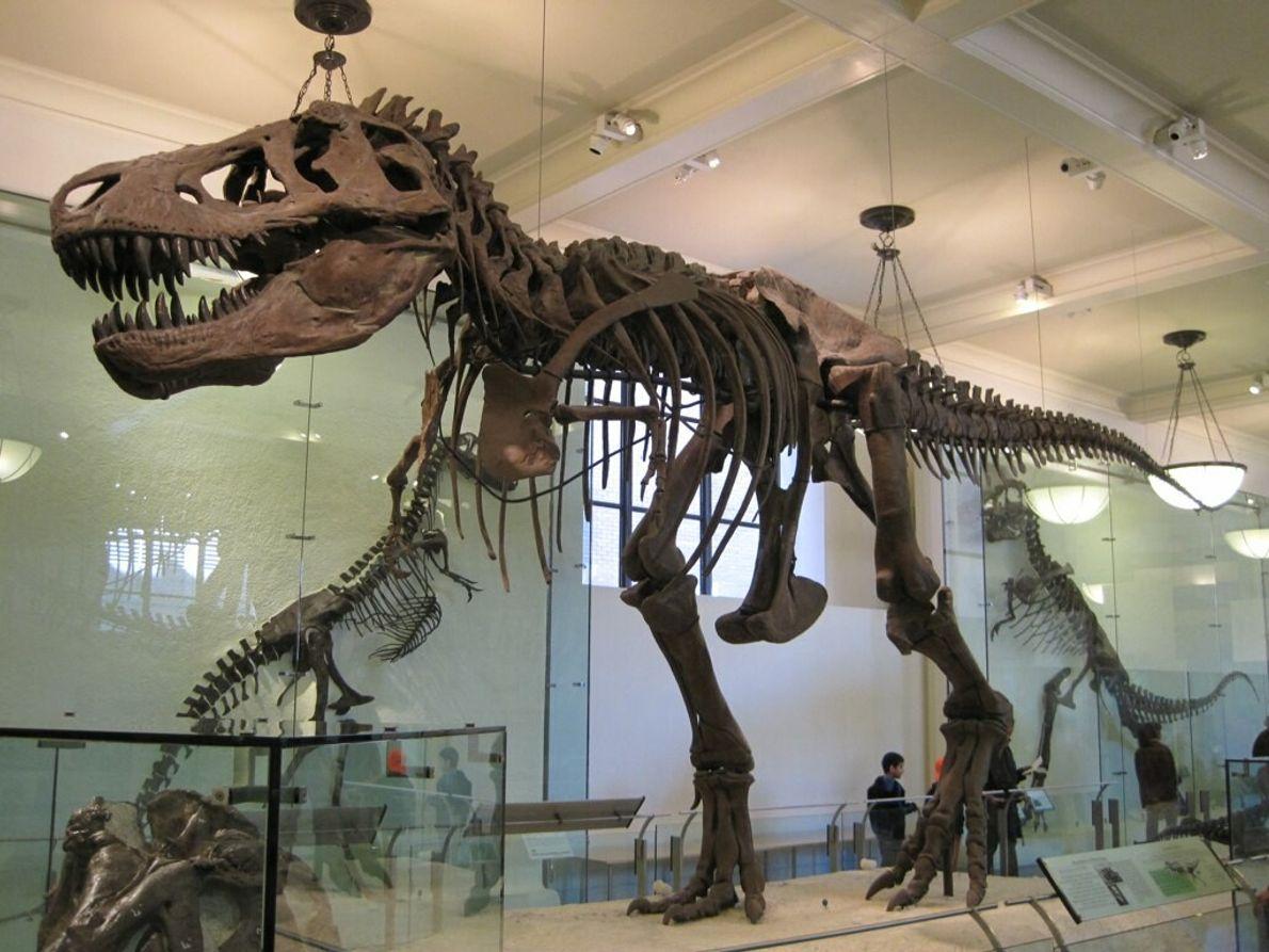 Fosil dinosaurio Tiranosaurio Rex