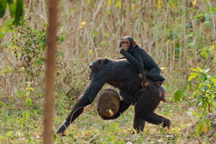 Chimpancé con sus crías