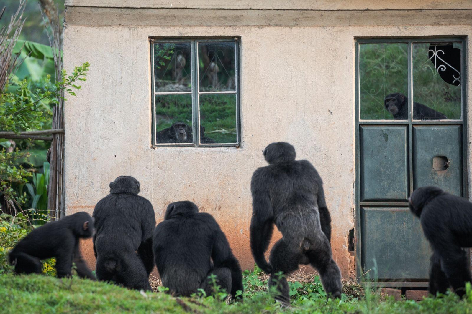 Fotografía de chimpancés acechando una casa en Uganda