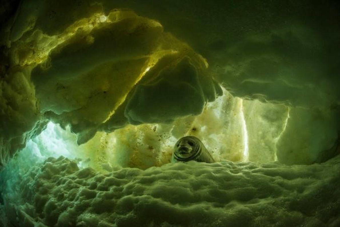 Una foca de Weddell joven