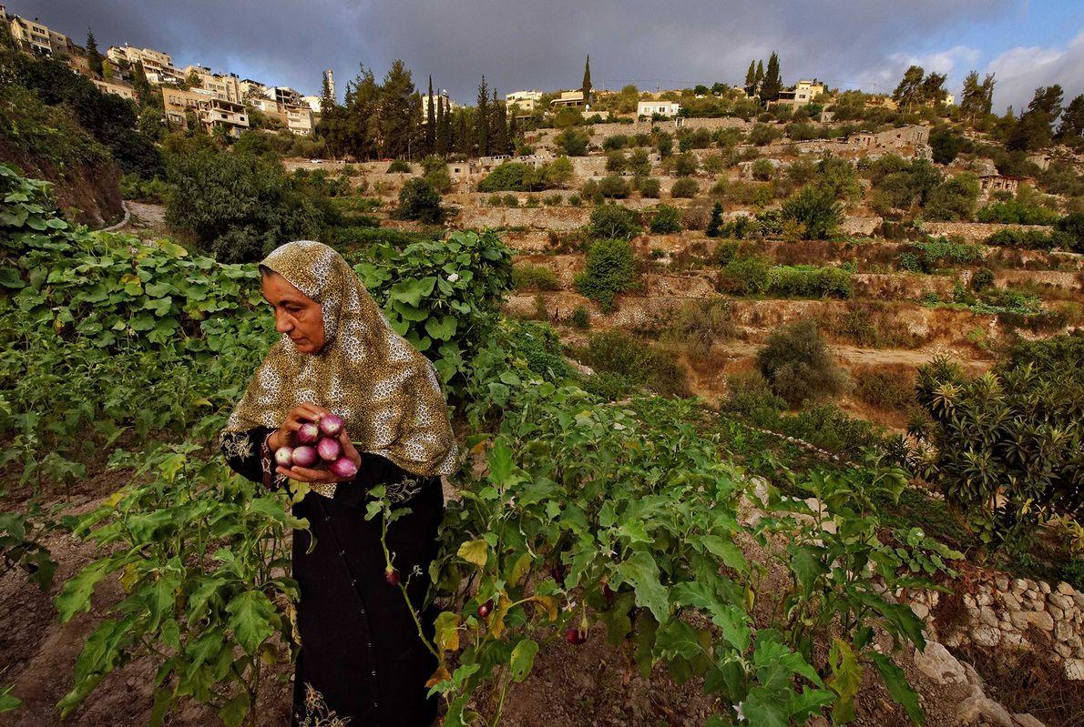 Tierra de olivares y viñas, territorios ocupados de Palestina