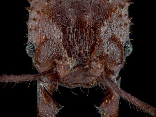 Las hormigas cortadoras de hojas tienen una coraza biomineral nunca vista en insectos