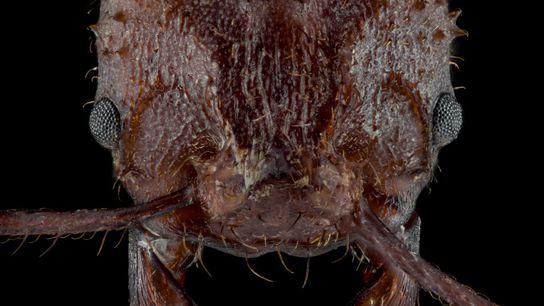 Fotografía de la hormiga Acromyrmex echinatior