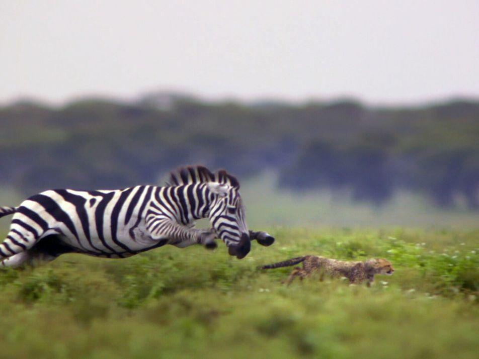 ¿Sobrevivirá este guepardo a la furia de las cebras?