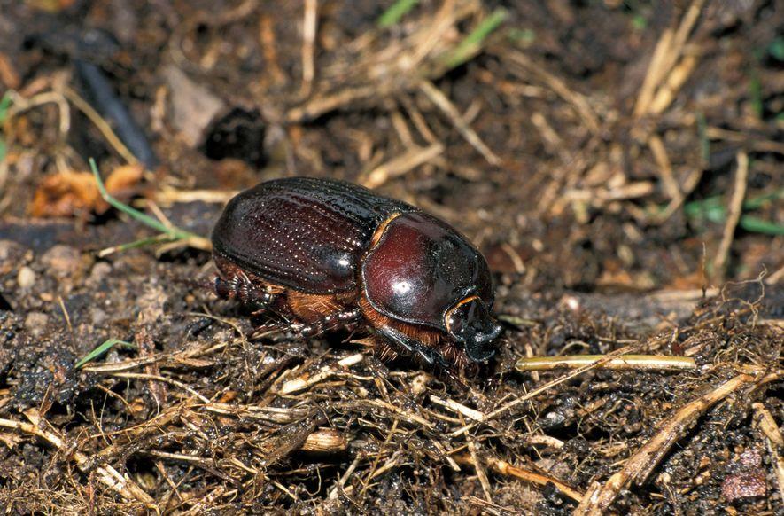 El Euoniticellus intermedius es una de las tres especies de escarabajo pelotero cuyas poblaciones han sufrido ...