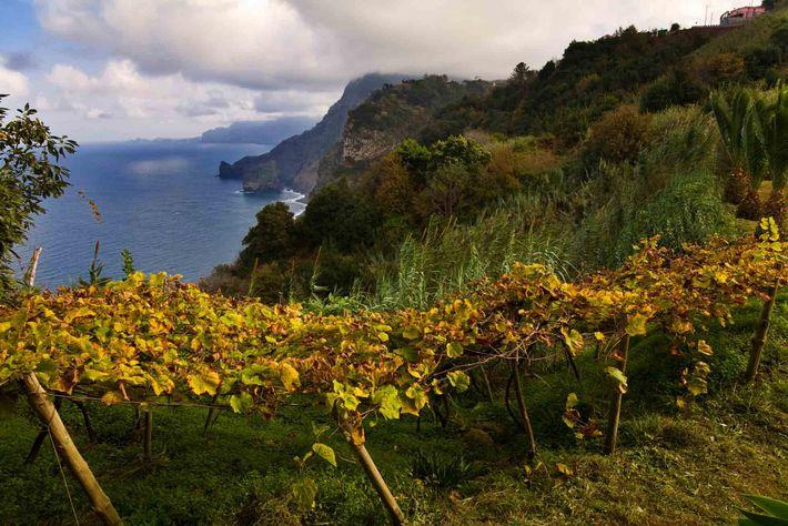 Uvas, Madeira