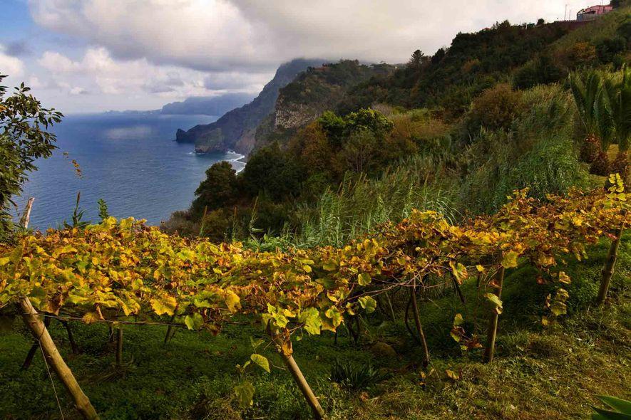 Las uvas crecen en el suelo volcánico de Madeira. «Aquí todo crece sin parar», afirma João ...