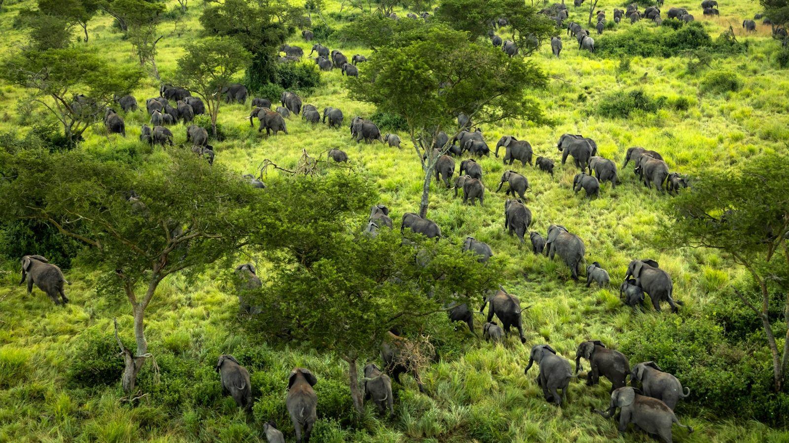 Elefantes recién llegados a Virunga